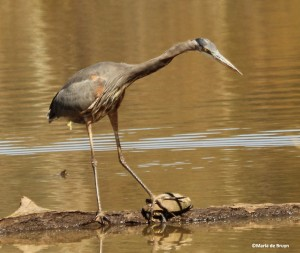 great blue heron IMG_4242©Maria de Bruyn
