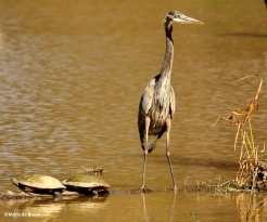great blue heron IMG_4336©Maria de Bruyn res