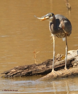 great blue heron IMG_8483© Maria de Bruyn  res
