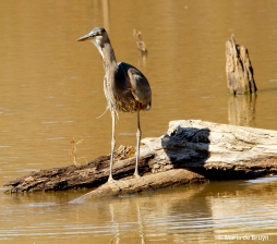 great blue heron IMG_8484© Maria de Bruyn