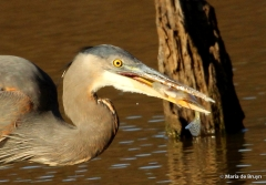 great blue heron IMG_8818© Maria de Bruyn