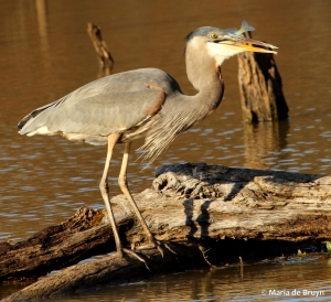 great blue heron IMG_8825© Maria de Bruyn res