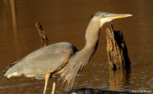great blue heron IMG_8826© Maria de Bruyn res