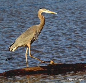 great blue heron IMG_8830© Maria de Bruyn res