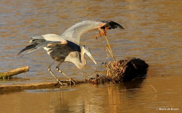 great blue heron IMG_8879© Maria de Bruyn res