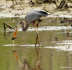 Great blue heron IMG_9530©Maria de Bruyn