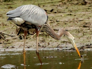 Great blue heron IMG_9578©Maria de Bruyn