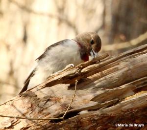 Red-headed woodpecker IMG_0574© Maria de Bruyn