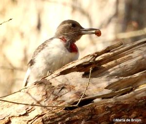 Red-headed woodpecker IMG_0576© Maria de Bruyn