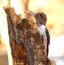 Red-headed woodpecker IMG_0612© Maria de Bruyn