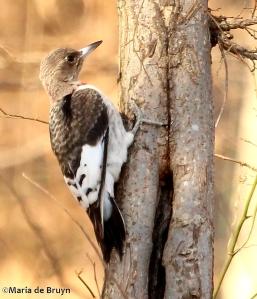 Red-headed woodpecker IMG_0707© Maria de Bruyn