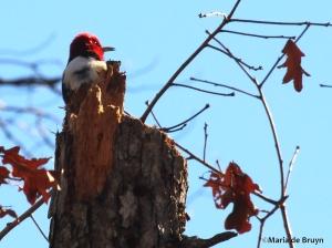 Red-headed woodpecker IMG_1587© Maria de Bruyn res