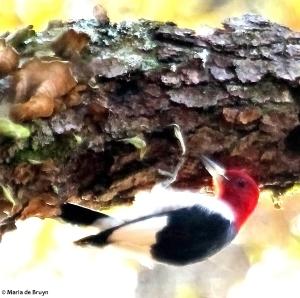 red-headed woodpecker IMG_1880© Maria de Bruyn