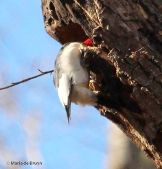 Red-headed woodpecker IMG_8082© Maria de Bruyn