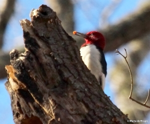 Red-headed woodpecker IMG_8096© Maria de Bruyn