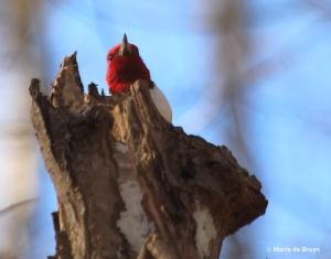 Red-headed woodpecker IMG_8332© Maria de Bruyn res
