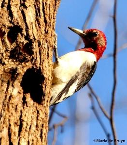 Red-headed woodpecker IMG_8625© Maria de Bruyn