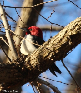 Red-headed woodpecker IMG_9062© Maria de Bruyn (2)