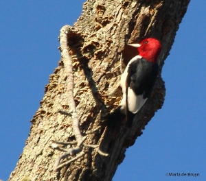 Red-headed woodpecker IMG_9104© Maria de Bruyn