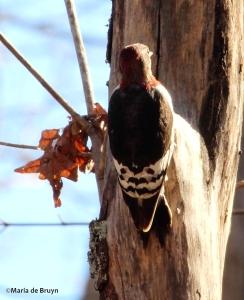 Red-headed woodpecker IMG_9202© Maria de Bruyn res