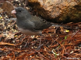 dark-eyed junco IMG_4729© Maria de Bruyn res