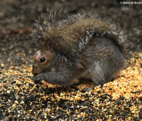 Eastern gray squirrel IMG_4325© Maria de Bruyn res