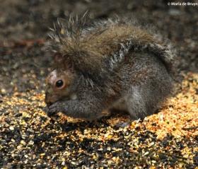 Eastern gray squirrel IMG_4325© Maria de Bruyn res