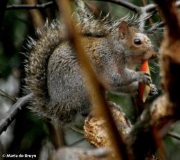 Eastern gray squirrel IMG_4334© Maria de Bruyn res