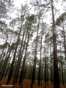long-leaf pine IMG_0013©Maria de Bruyn res