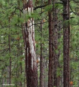 long-leaf pine IMG_9025©Maria de Bruyn res