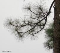 longleaf pine IMG_0015©Maria de Bruyn res