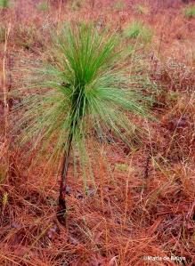longleaf pine IMG_0016©Maria de Bruyn res