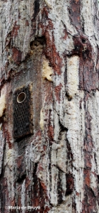 longleaf pine IMG_9030©Maria de Bruyn res