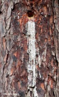 longleaf pine IMG_9035©Maria de Bruyn res