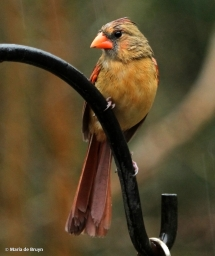 Northern cardinal IMG_4462© Maria de Bruyn res
