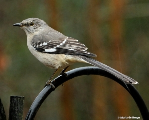 Northern mockingbird IMG_4467© Maria de Bruyn res