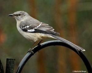 Northern mockingbird IMG_4467© Maria de Bruyn res