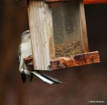 Northern mockingbird IMG_4503© Maria de Bruyn res