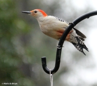 red-bellied woodpecker IMG_4948© Maria de Bruyn res