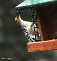 red-bellied woodpecker IMG_5005© Maria de Bruyn res