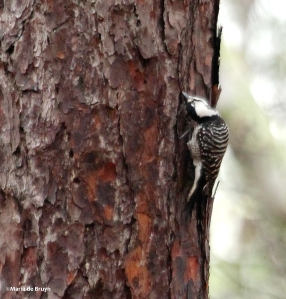 red-cockaded woodpecker IMG_9152 ©Maria de Bruyn