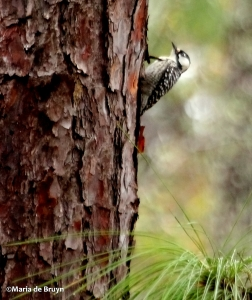 red-cockaded woodpecker IMG_9165 ©Maria de Bruyn