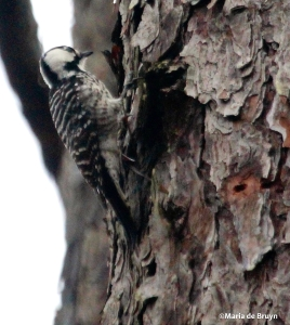 RED-COCKADED WOODPECKER IMG_9214©Maria de Bruyn
