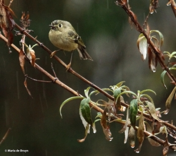 ruby-crowned kinglet IMG_4741© Maria de Bruyn res
