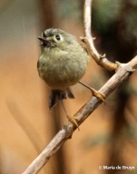 ruby-crowned kinglet IMG_4777© Maria de Bruyn