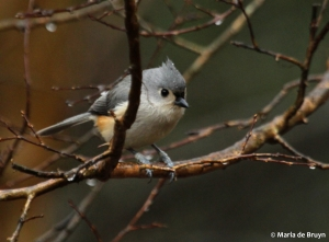 tufted titmouse IMG_4350© Maria de Bruyn res