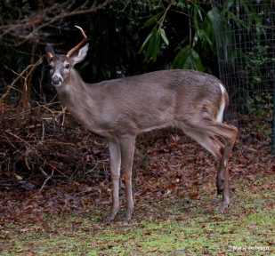 white-tailed deer IMG_4001© Maria de Bruyn res