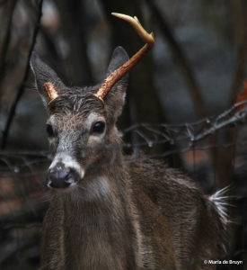 white-tailed deer IMG_4092© Maria de Bruyn res