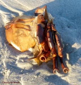 horseshoe crab IMG_0117_1©Maria de Bruyn res