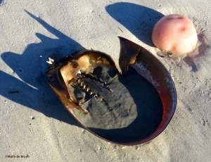horseshoe crab IMG_0164_1©Maria de Bruyn res